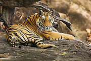 A curious but nervous Bengal tiger (Panthera tigris tigris) laying on a rock near a water hole, looks directly into the camera, Bandhavgarh,Madhya Pradesh,India