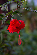Red Hibiscus flower, Hawaii