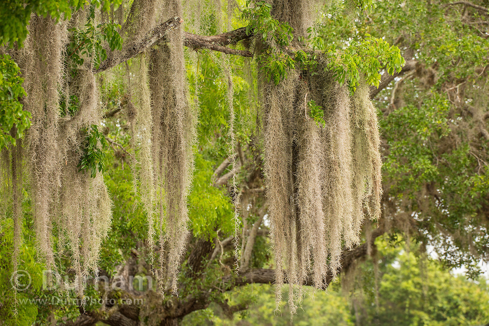Spanish mos (Tillandsia usneoides) hanging from trees in Everglades National Park, Florida.