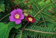 Flowering Raspberry (Rubus odoratus) - Quebec, Canada