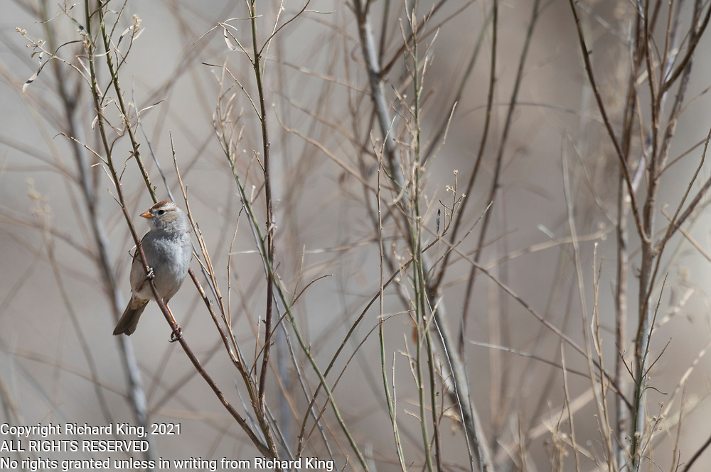 Photograph of White-crowned Sparrow (Zonotrichia leocophrys) from San Pedro Riparian National Conservation Area, AZ