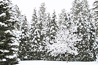 A snow covered tree surrounded by snowy fir trees.