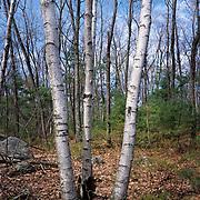 Three grey birches in the woods near Andover, Massachusetts