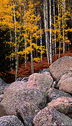 Aspens sport an autumn gold color in Rocky Mountain National Park, Colorado.