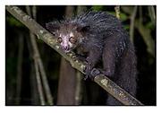 Aye-Aye in its natural habitat in Madagascar. Nikon D5, 70-200mm @ 100mm, f2.8, 1/80sec, I(SO5000, Manual modus.