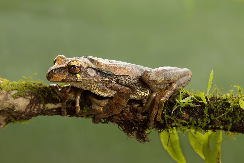 """Baudin's Tree Frog<br /> <br /> Available sizes:<br /> 12"""" x 18"""" print <br /> <br /> See Pricing page for more information. Please contact me for custom sizes and print options including canvas wraps, metal prints, assorted paper options, etc. <br /> <br /> I enjoy working with buyers to help them with all their home and commercial wall art needs."""