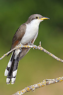 Yellow-billed Cuckoo - Coccyzus americanus