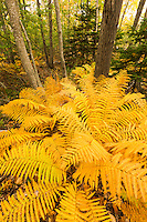 Intimate forest scene with autum color in Acadia National Park, Maine