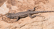 One of the many species of spiny lizard (genus Sceloporus) on Slickrock Foot Trail in Needles District of Canyonlands National Park, Utah, USA.