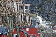 Stockfish Lofoten Islands, Norway