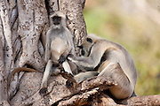 Indian Langur monkeys, Presbytis entellus, grooming in Banyan Tree in Ranthambore National Park, Rajasthan, India