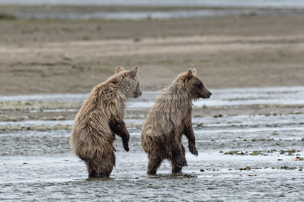 Two Brown bear yearling cubs stand to get a better view of salmon moving in the lower lagoon at the McNeil River State Game Sanctuary on the Kenai Peninsula, Alaska. The remote site is accessed only with a special permit and is the world's largest seasonal population of brown bears in their natural environment.