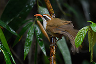 Red-billed Scimtar-babbler, Pomatorhinus ochraceiceps, sitting on a wet branch after rain ina forest in Hong Bung He, Dehong, Yunnan, China