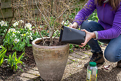 Top dressing a container with fresh compost and controlled-release fertiliser. Adding new compost. Syringa pubescens subsp. microphylla 'Superba' - Lilac
