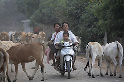 Family negotiates on their motorbike a herd of cattle coming back from the fields where they graze freely.<br /><br />Ekxang Village, Phonhong District, Vientiane Province