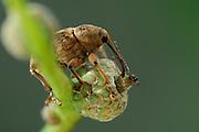 Acorn weevil (Curculio glandium) | Gewöhnliche Eichelbohrer (Curculio glandium)