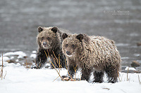 Grizzly bears in the snow.