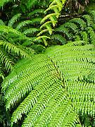 Detail of a fern at the famous Babinda Boulders along Babinda Creek, near Babinda, QLD, Australia.