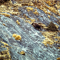 A Himalayan thar in the Khumbu region of the Nepal. 1979