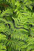 Bracken ferns near Watendlath in the Lake District National Park, Cumbria, UK