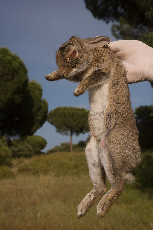 European Rabbit (Oryctolagus cuniculus) with Myxomatosis a disease which kills the rabbits.<br /> The rabbits are the primary diet of the Iberian Lynx (Lynx pardinus)<br /> Sierra de Andújar Natural Park, Mediterranean woodland of Sierra Morena, north east Jaén Province, Andalusia. SPAIN<br /> Their numbers have been greatly reduced due to deseases like Myxomatosis & Rabbit Haemorraghic Disease, also habitat loss and over-hunting.<br /> <br /> Mission: Iberian Lynx, May 2009<br /> © Pete Oxford / Wild Wonders of Europe<br /> Zaldumbide #506 y Toledo<br /> La Floresta, Quito. ECUADOR<br /> South America<br /> Tel: 593-2-2226958<br /> e-mail: pete@peteoxford.com<br /> www.peteoxford.com