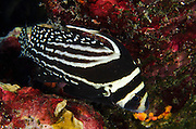 Spotted Drum (Equetus punctatus)<br /> BONAIRE, Netherlands Antilles, Caribbean<br /> HABITAT & DISTRIBUTION: Secluded areas of reefs or entrances to caves.<br /> Florida, Bahamas, Caribbean & Gulf of Mexico.