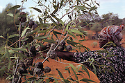 "Bessie Liddle reaches for what she calls 'bush coconuts"", which are the knobby galls on the branches of the bloodwood tree. These are formed when a light green grub Cystococcus echiniformis burrows under the bark of the tree and secretes an irritating saliva which causes the tree to form a protective gall around the insect in a sort of oyster-and-pearl scenario, north of Alice Springs, Central Australia. (Man Eating Bugs page 25)"