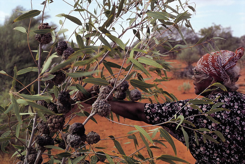"""Bessie Liddle reaches for what she calls 'bush coconuts"""", which are the knobby galls on the branches of the bloodwood tree. These are formed when a light green grub Cystococcus echiniformis burrows under the bark of the tree and secretes an irritating saliva which causes the tree to form a protective gall around the insect in a sort of oyster-and-pearl scenario, north of Alice Springs, Central Australia. (Man Eating Bugs page 25)"""