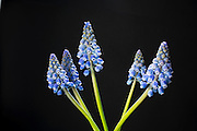 Grape hyacinth (Muscari), a ornamental garden flower native to the mediterranean. © Michael Durham / www.DurmPhoto.com.