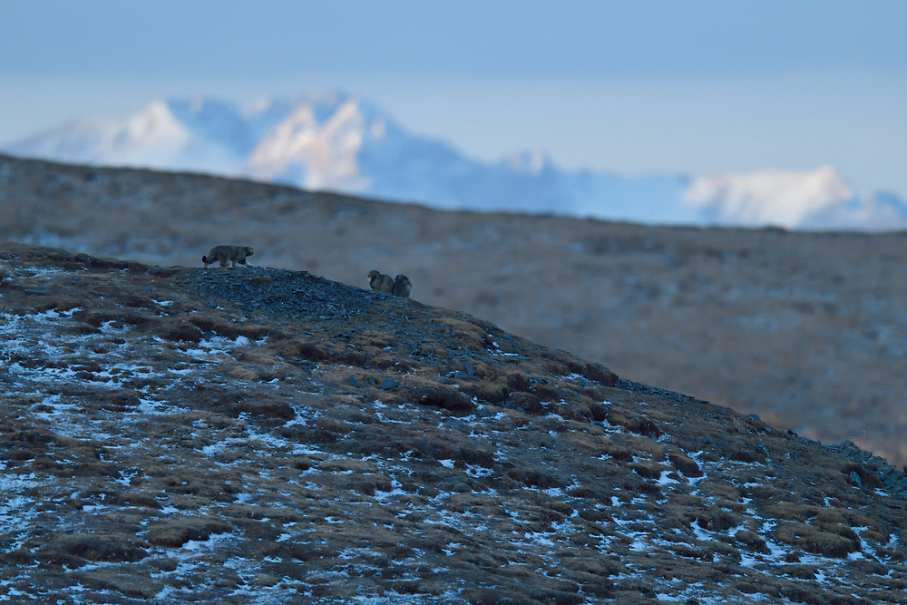 Pallas's cat (Otocolobus manul), also called the manul, on a mountain, Tibetan Plateau 5000 m asl, Qinghai, China