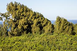 Cool Trees Near Kahakuloa Bay