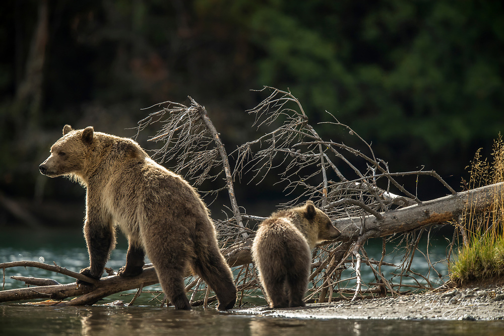Grizzly bear (Ursus arctos)- Mother and first year cub hunting sockeye salmon spawning in the Chilko River, Chilcotin Wilderness, BC Interior, Canada, Chilcotin Wilderness, BC Interior, Canada