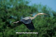 00684-02612 Great Blue Heron (Ardea herodias) in flight carrying branch to nest   FL