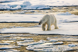Polar bear (Ursus maritimus) on drifting ice at 82 degree North in September, Svalbard, Norway