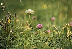 THEMENBILD - ein Klee auf einer Wiese, aufgenommen am 23. Juni 2019, am Hintersee in Mittersill, Österreich // a clover in a meadow on 2019/06/23, Hintersee in Mittersill, Austria. EXPA Pictures © 2019, PhotoCredit: EXPA/ Stefanie Oberhauser