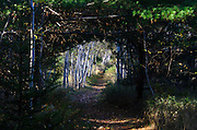 A dark tunnel of spruce and pine leads to a bright allee of white birch in Acadia National Park, Maine.