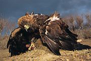 Golden Eagle Shrouding Rabbit prey.<br />Aquila chrysaetos<br />Western Mongolia