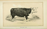 Hereford Cow from Cattle and dairy farming. Published 1887 by Govt. Print. Off. in Washington. United States. Bureau of Foreign Commerce (1854-1903)