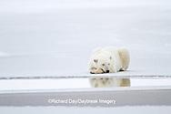01874-12306 Polar bear (Ursus maritimus) lying on frozen pond, Churchill Wildlife Management Area, Churchill, MB Canada