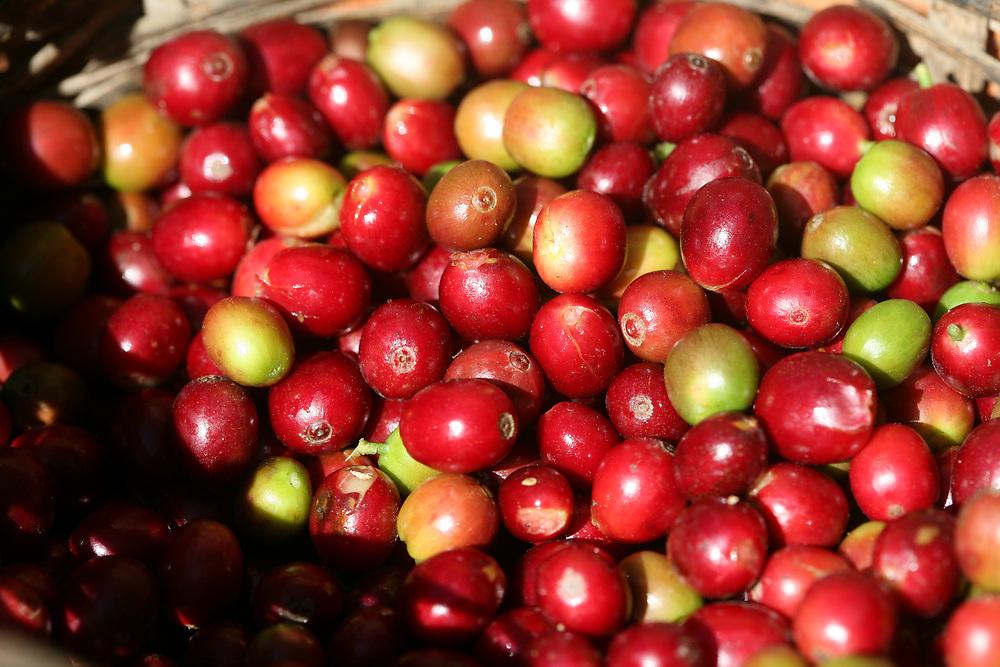 Ripe red coffee cherries at a farm linked to COSAGUAL. COSAGUAL, Cooperativa de Servicios Agropecuarios Gualcinse Ltda, is a Fairtrade-certified coffee producer in Gualcinse, Lempira, Honduras.