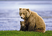 Grizzly bear (brown bear), McNeil River State Game Sanctuary, Kamishak Bay, Alaska. Endangered species. Climate change affecting migration of salmon, primary food source for these bears. This photo has been published in books, magazines, posters, credit cards and the side of a bank van. It has appeared in publications in about 35 different countries.