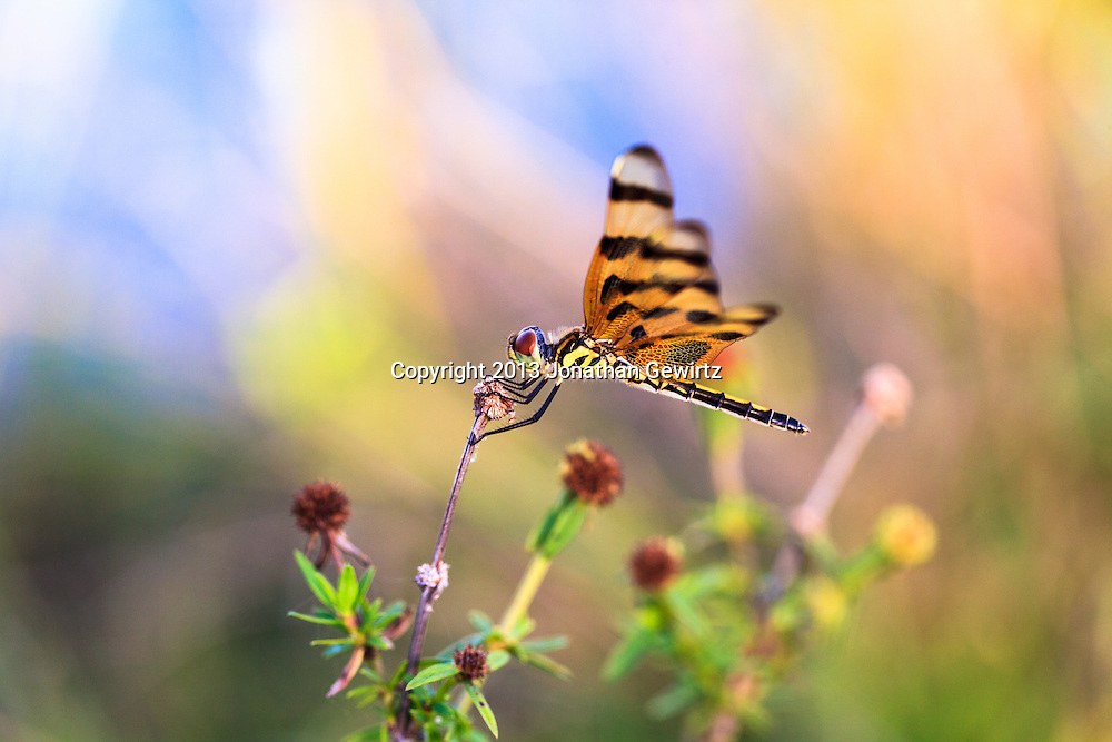 Closeup view of a Halloween Pennant (Celithemis eponina) dragonfly perched on a plant stalk in the Shark Valley Section of Everglades National Park, Florida. WATERMARKS WILL NOT APPEAR ON PRINTS OR LICENSED IMAGES.<br /> <br /> Licensing: https://tandemstock.com/assets/63247350