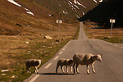 Norway Rt. #13 on the road to Vik; sheep crossing road