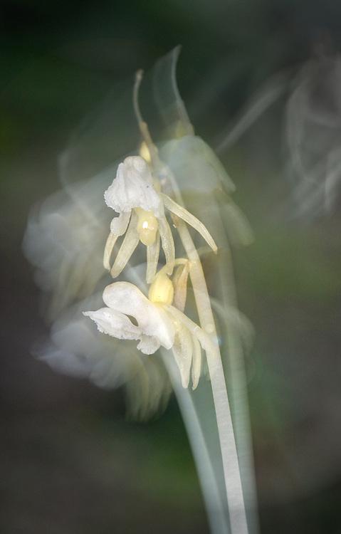Ghost Orchid - Epipogium aphyllum