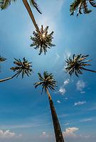 Palm trees, Boosa (near Galle), south coast of Sri Lanka.