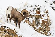 Bighorn Sheep Ram climbing the mountain in the snow