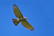 Gray Hawk - Buteo plagiatus - juvenile