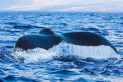 Humpback Whale, fluke up dive, Megaptera novaeangliae, Hawaii, Pacific Ocean