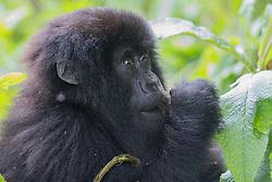 Mountian Gorilla