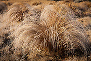 Frosted tussock grass, Castle Hill Basin, Porter's Pass, Canterbury